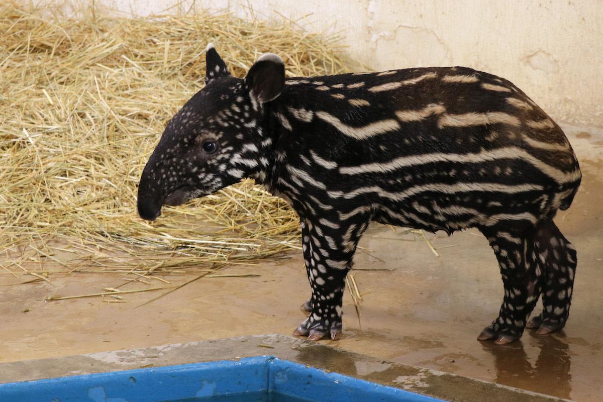 MNZoo Tapir