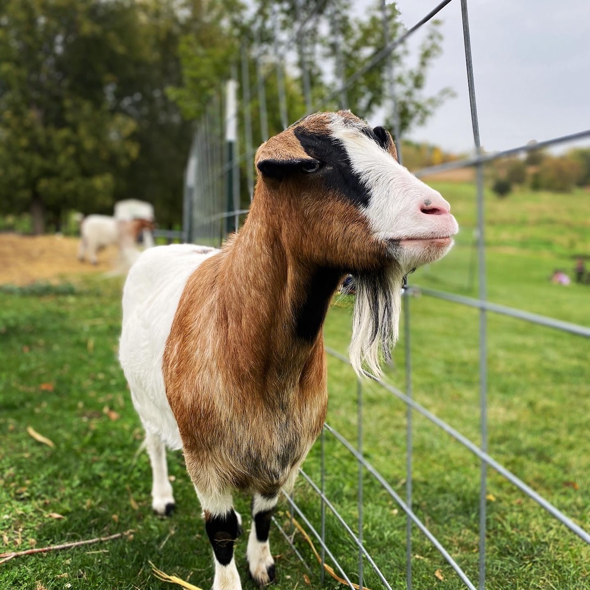 A goat at LuceLine Apple Orchard near Watertown.