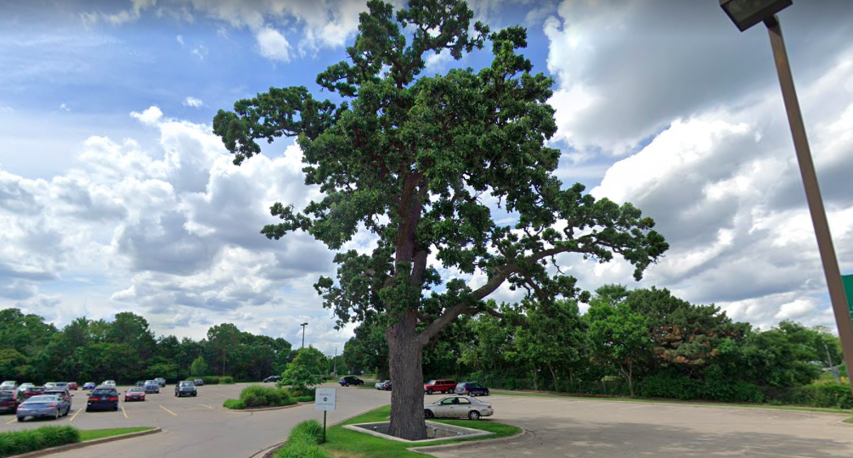 Oak tree at Richfield Lunds & Byerlys