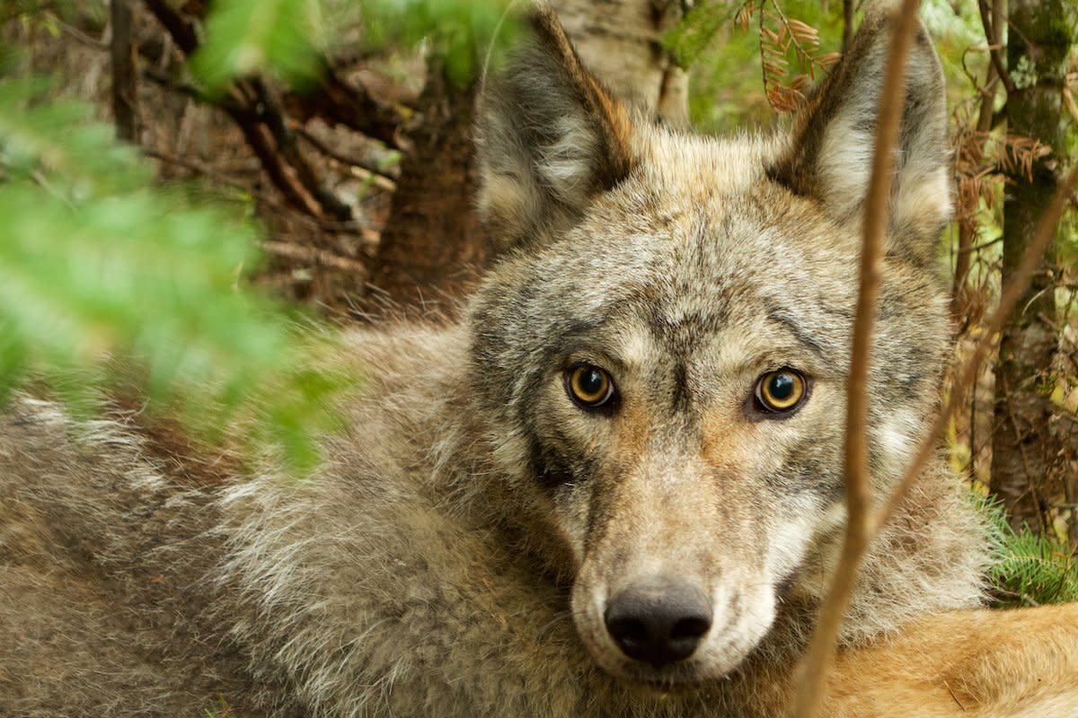 A wolf who lives in the Voyageurs National Parl ecosystem.