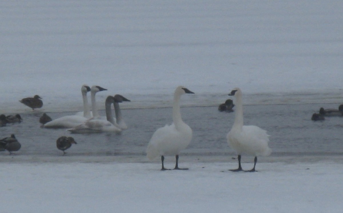 Ducks and trumpeter swans picture in January at Blue Lake.