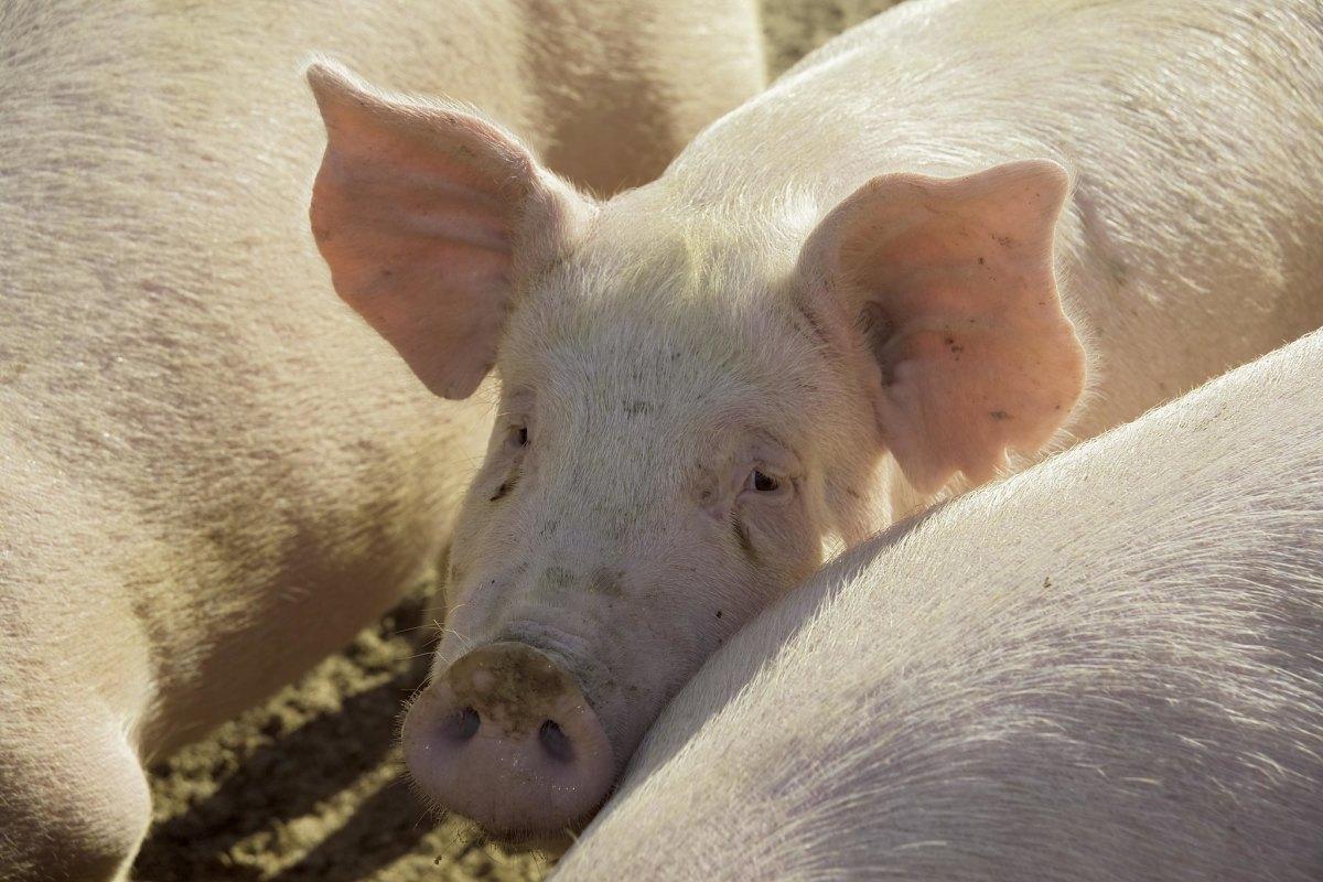 hogs, pigs