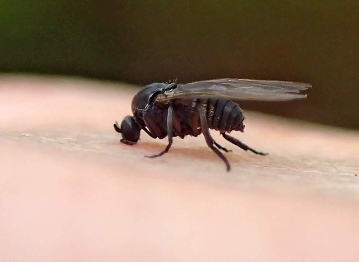 A black fly.