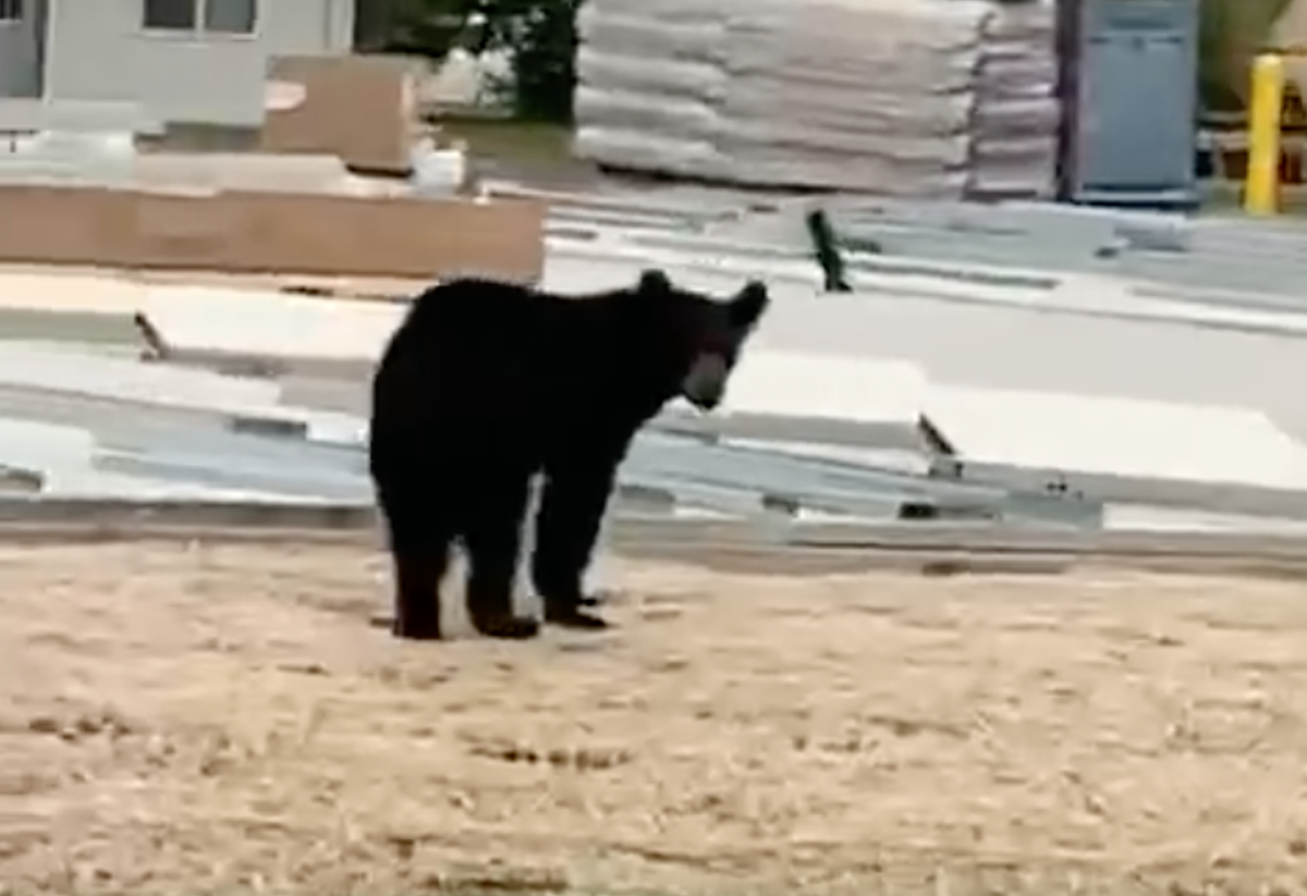 bear in Litchfield