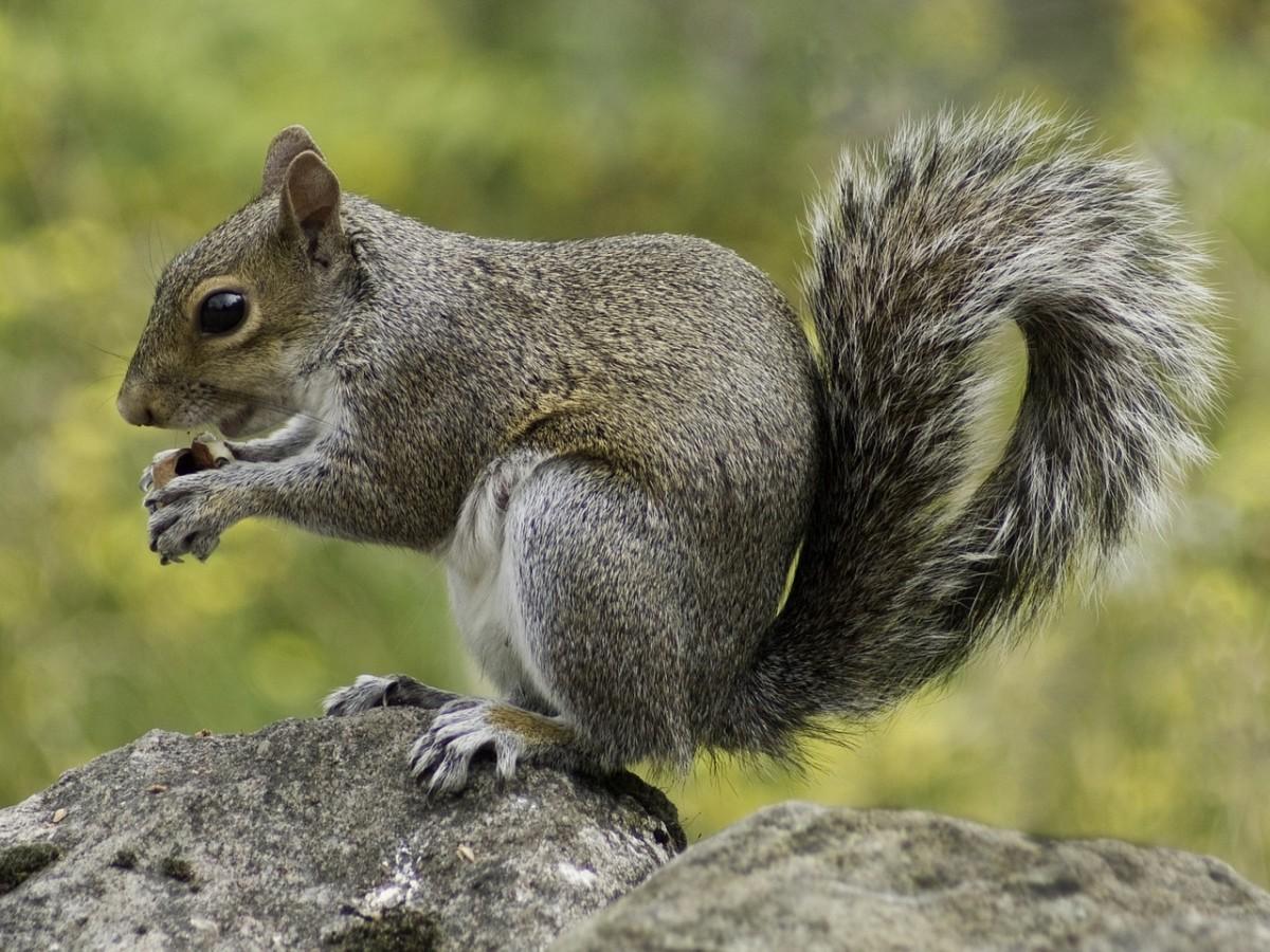 squirrel-498139_1280