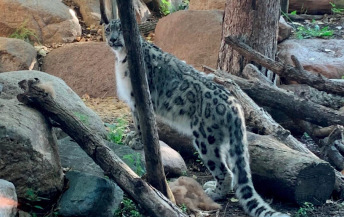 Baya at Great Plains Zoo