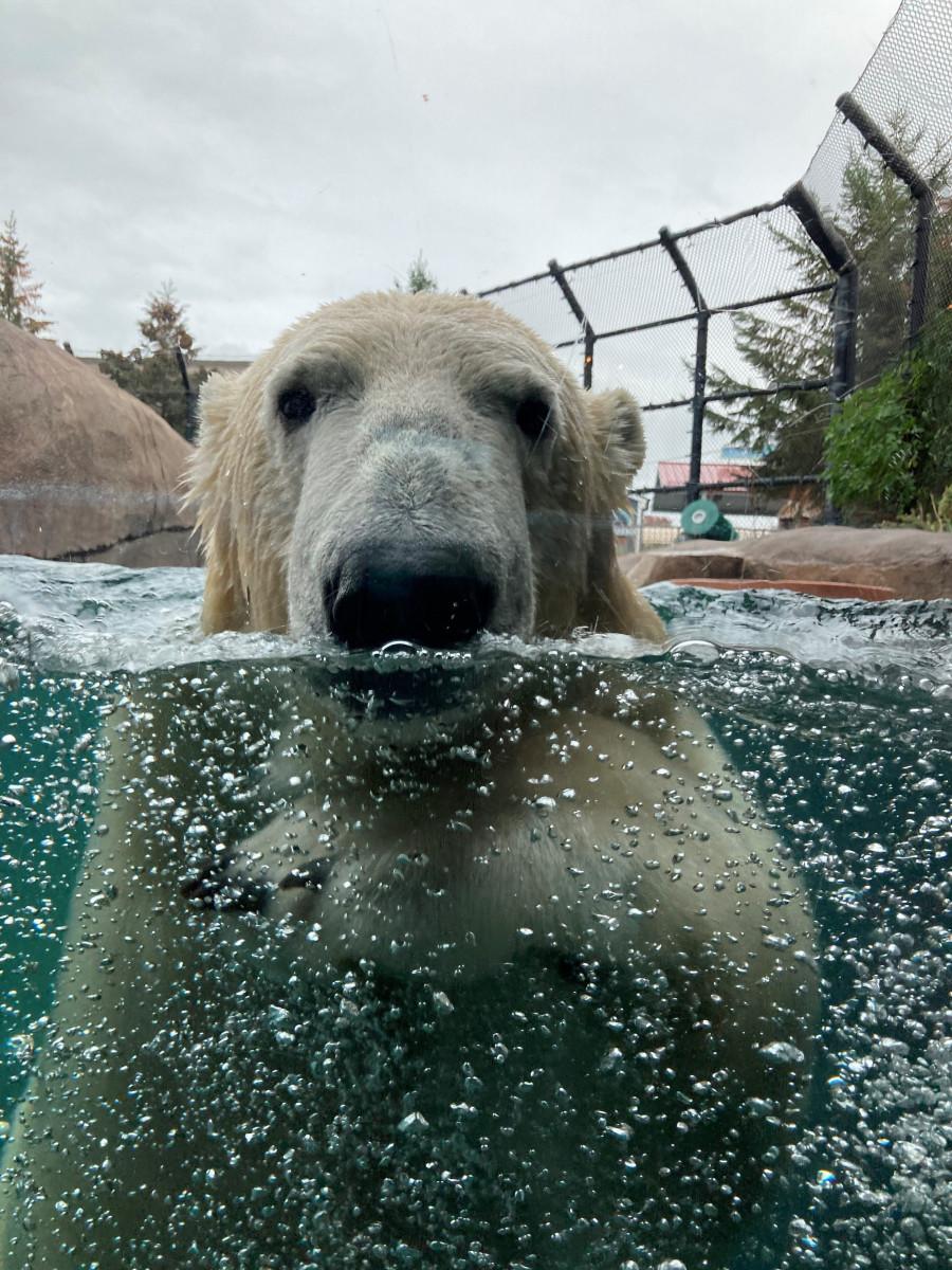 como zoo polar bear