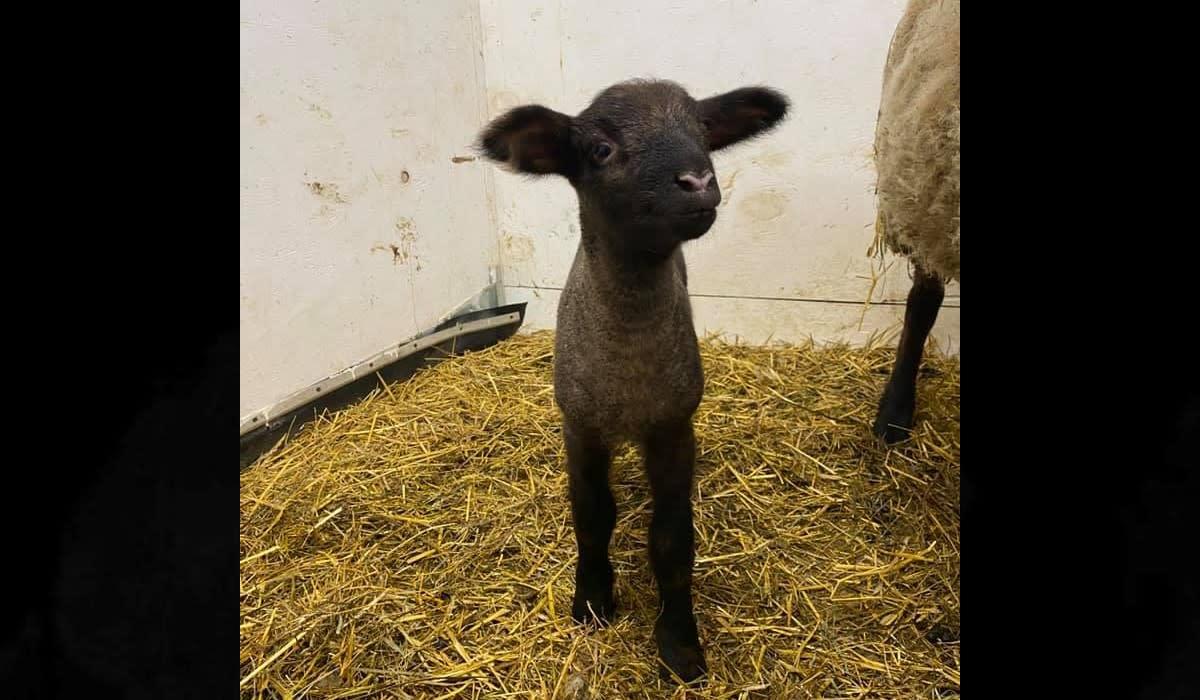 The stolen lamb.