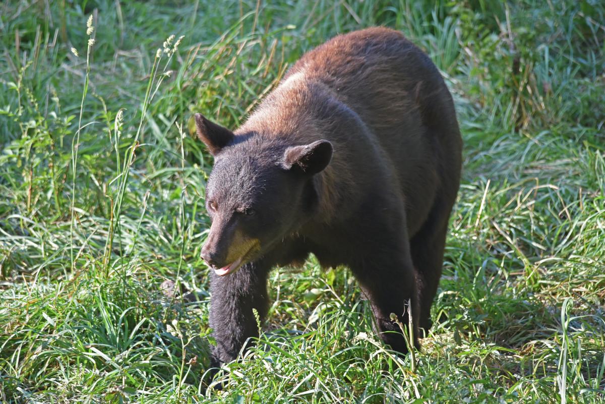 A Black Bear wandering through grass.