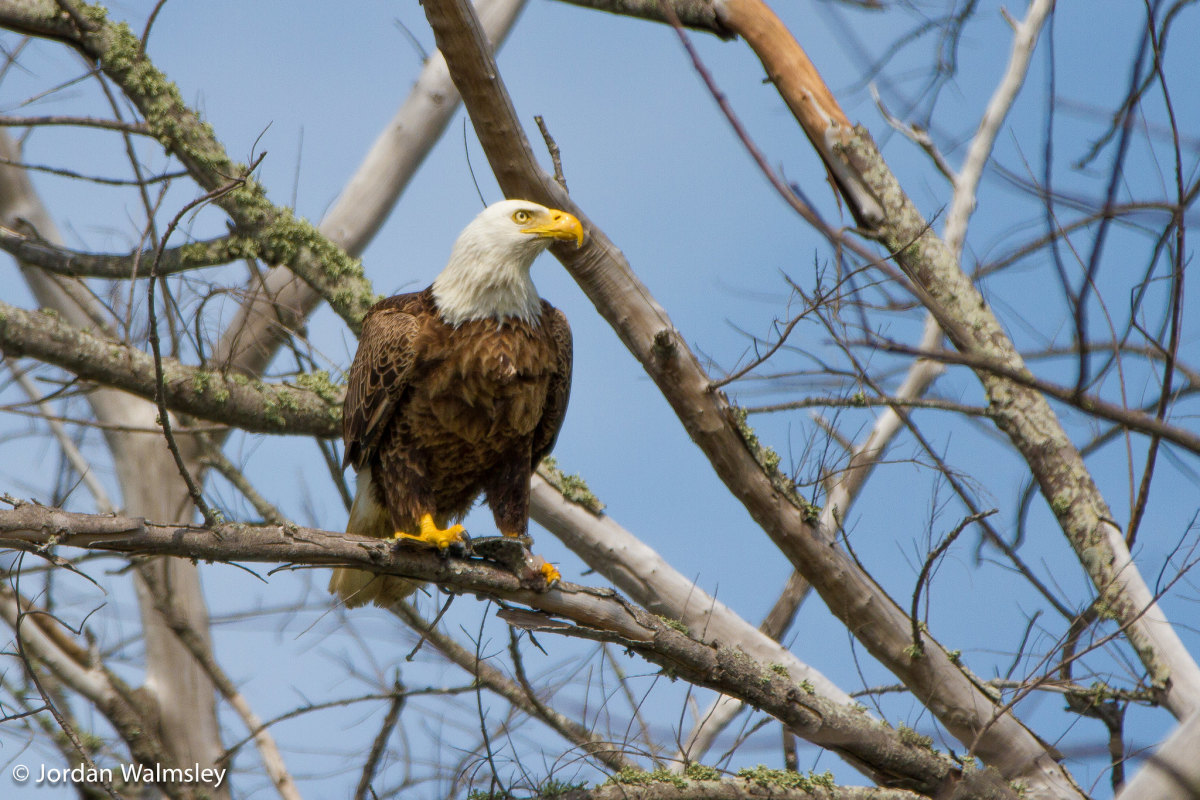 A bald eagle perched on branches.