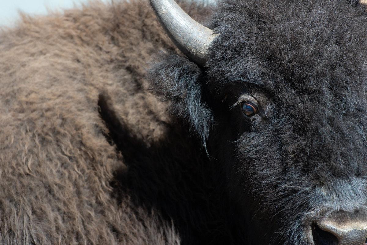 Flickr - Grand Canyon National Park - bison close-up
