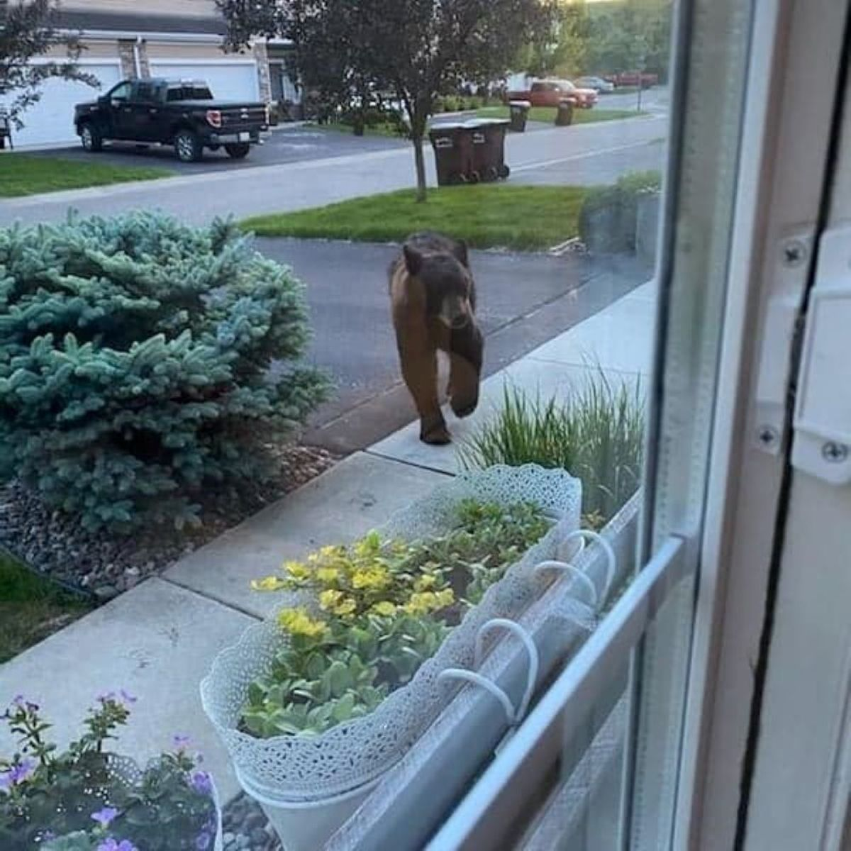 A bear spotted in Chaska's Points West neighborhood Tuesday evening.