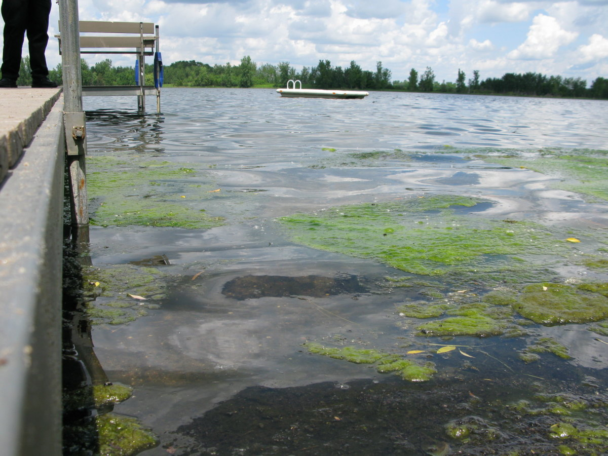 Algae in Prairie Lake in Sherburne County, which killed a family dog after he fetched a tennis ball from the lake, the MPCA says.