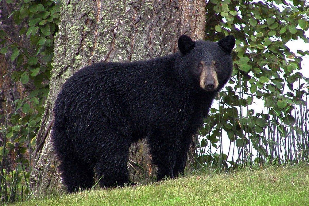 Pixabay - black bear