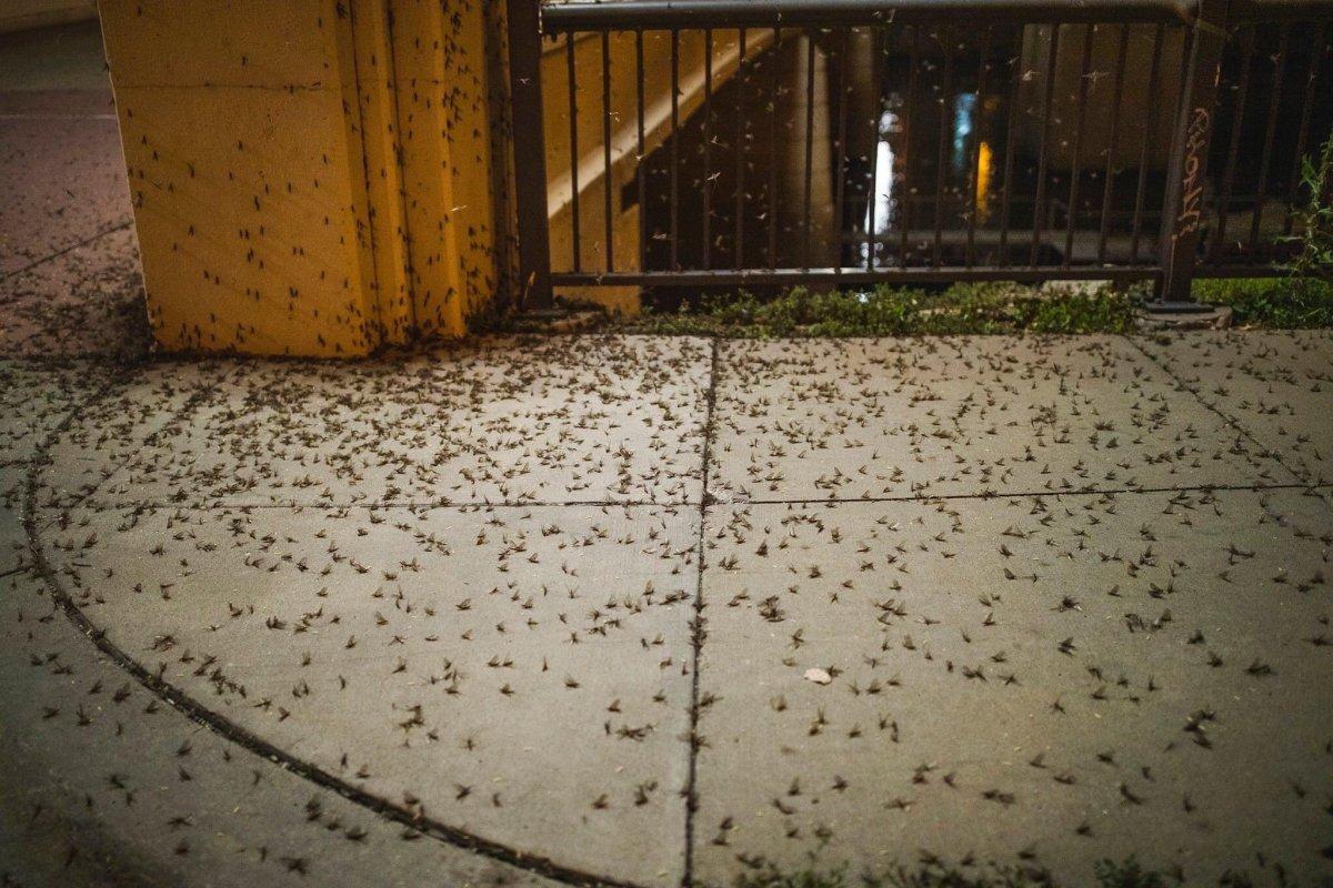 Mayflies in St. Paul.
