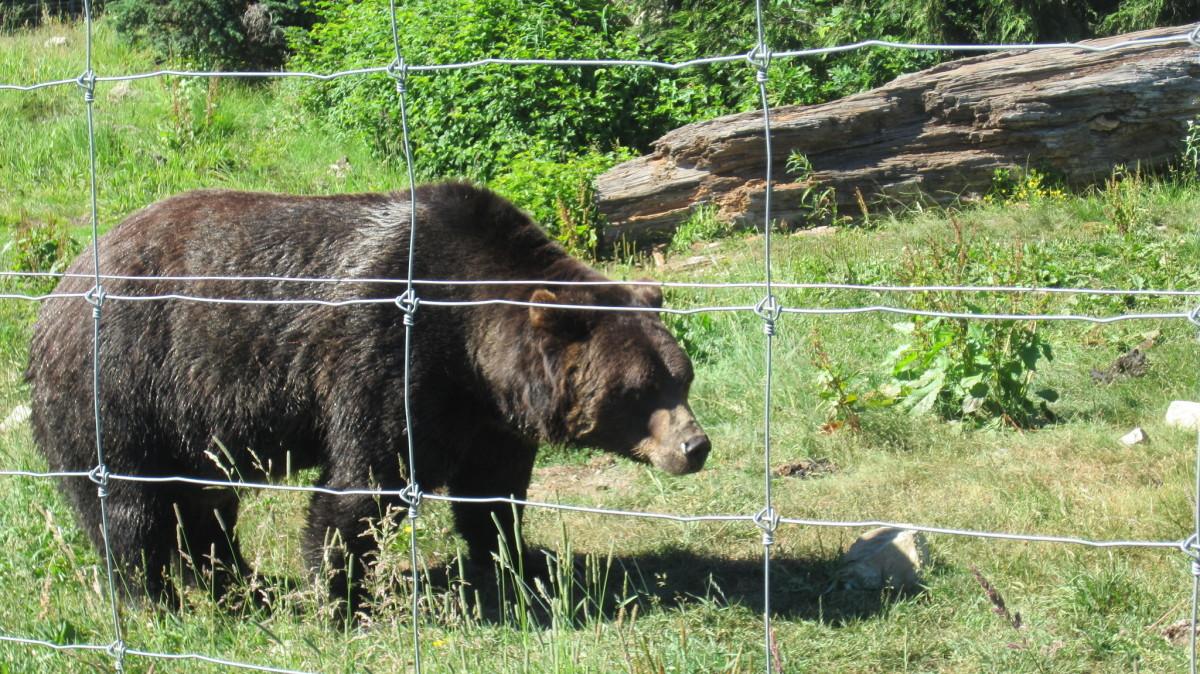 Flickr - black bear walking fence line - Dan Ox
