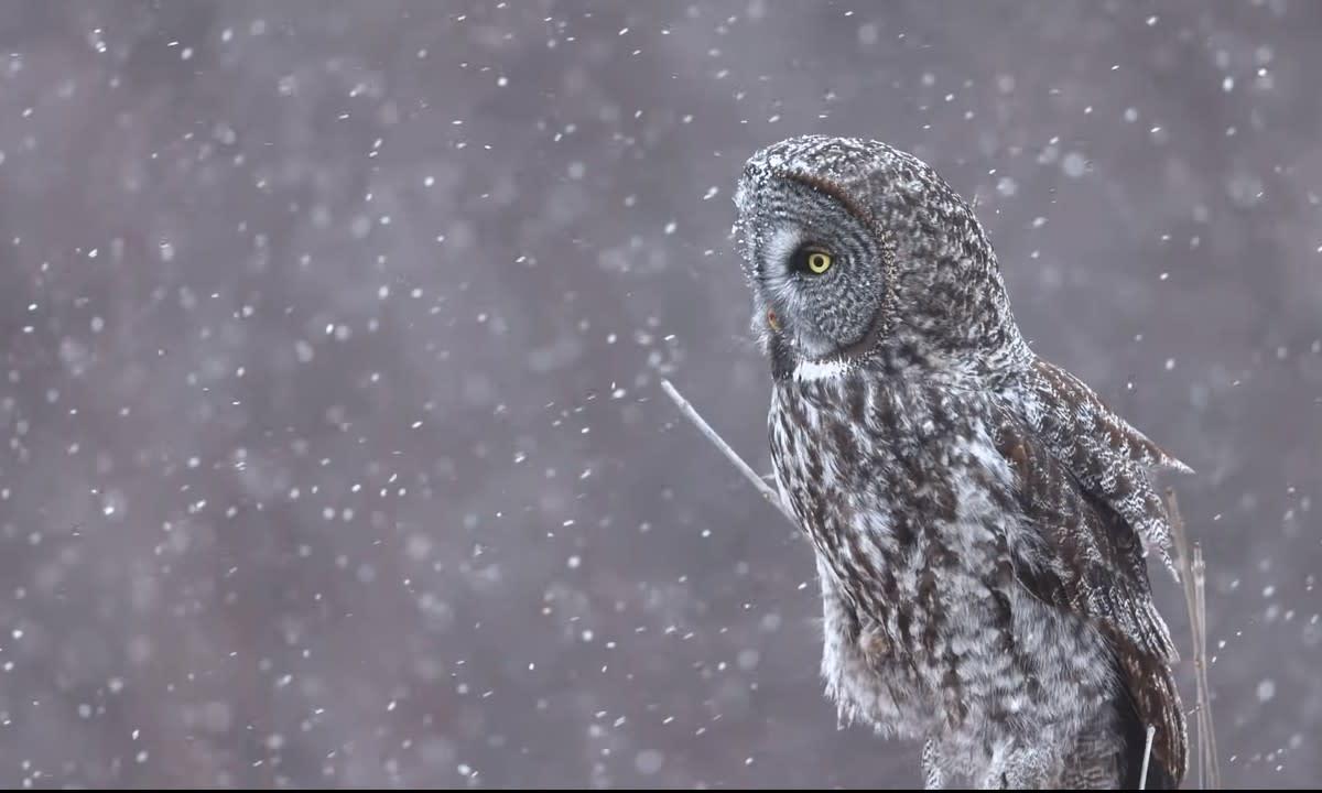 Brent Cizek - great gray owl video screengrab