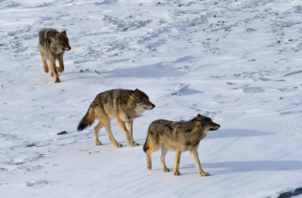 wolves isle royale