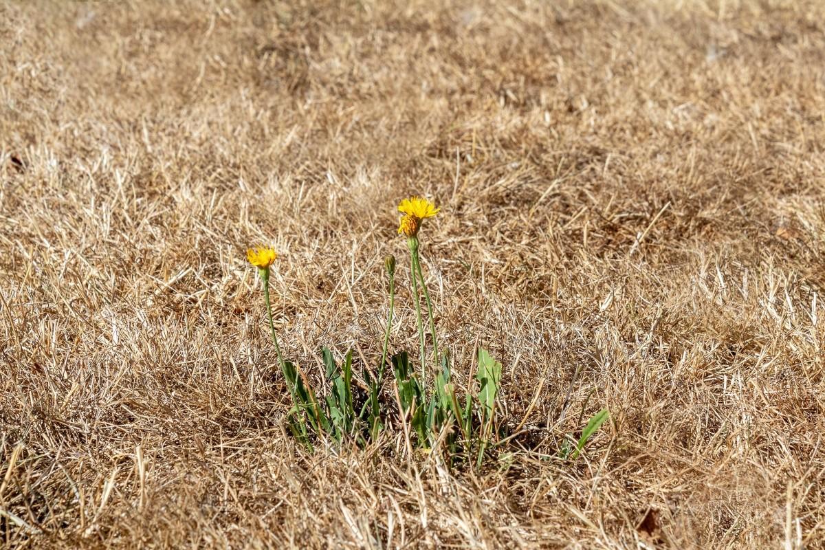 Pixabay - dry grass flower heat
