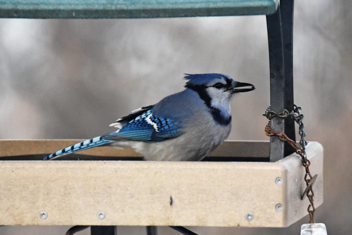 A healthy blue jay at a feeder.