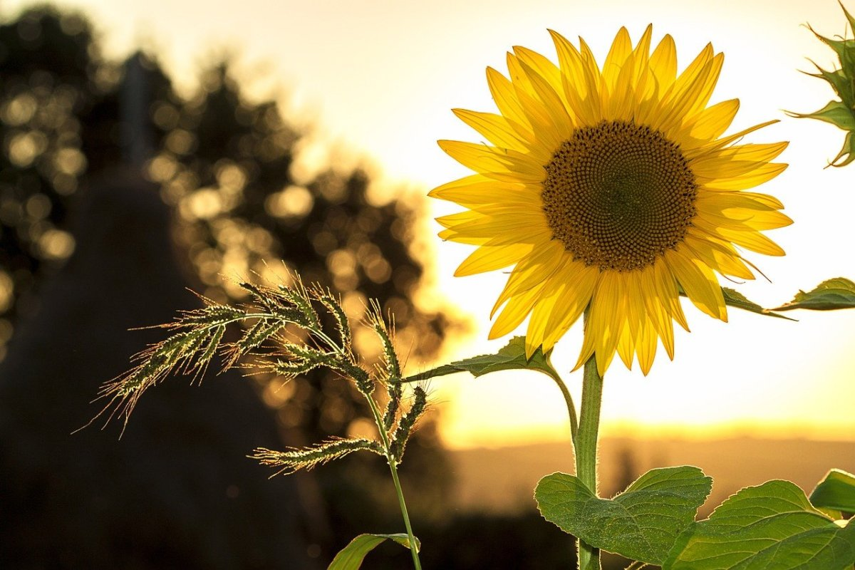 Pixabay - sunflower
