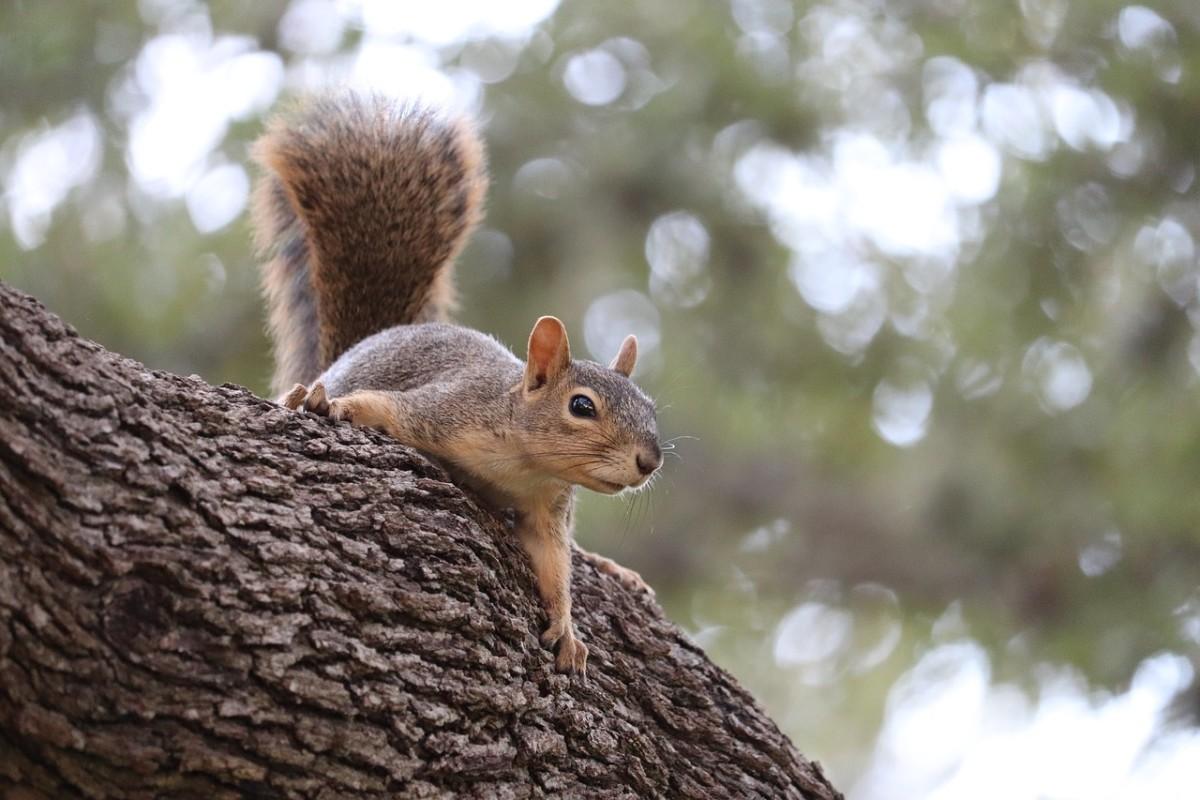 Pixabay - gray squirrel