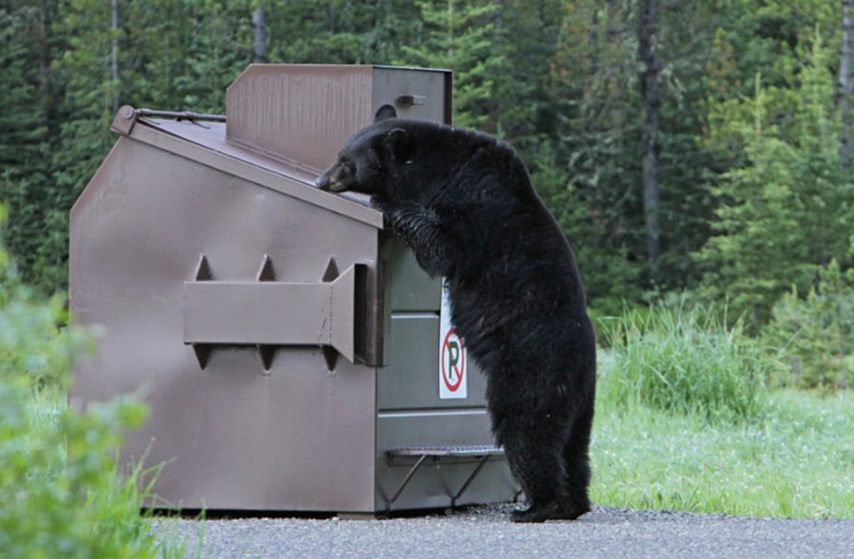 USFS Superior Natl Forest - Aug 30 2021 - bear in supplies